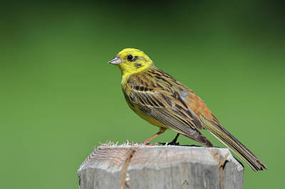 Goldammer Wall Art - Photograph - A Yellowhammer Bunting Sitting On A Tree Trunk by Stefan Rotter