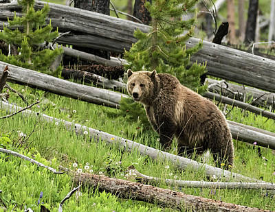 Photograph - A Yellowstone Icon by Bruce J Barker