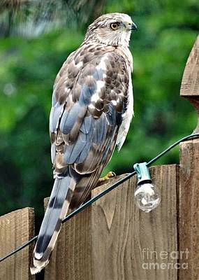 Photograph - A Young Coopers Hawk  by Linda Xydas