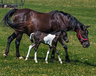 A Young Horse With It's Mother Print by Mark Preston