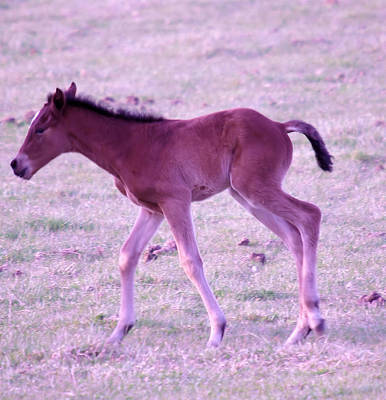 Young Horses Photograph - A Young Spring Colt  by Jeff Swan