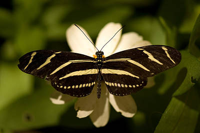 A Zebra-winged Butterfly At The Lincoln Art Print by Joel Sartore