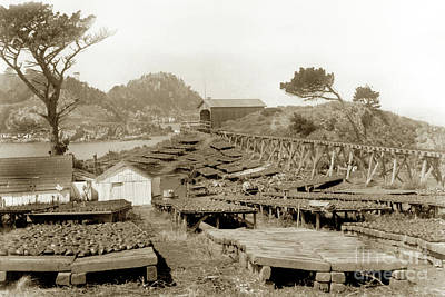 Photograph - Abalone Drying Racks On Coal Chute Point Sept 19, 1905 by California Views Mr Pat Hathaway Archives