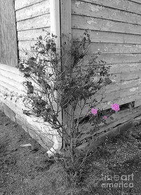 Photograph - Abandoned Pink Rose Trio by Jeff at JSJ Photography