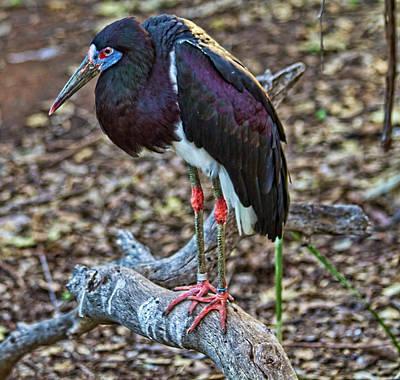 Abdim's Stork Original