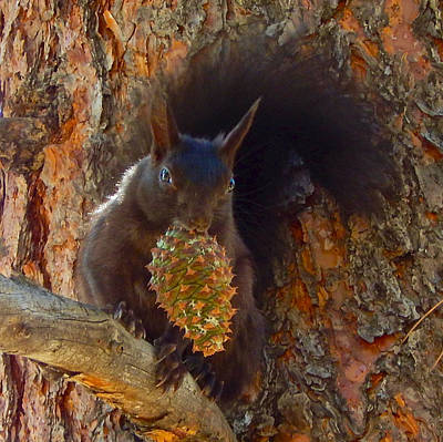 Photograph - Abert's Squirrel 2 by Dan Miller