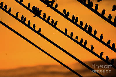 Aberystwyth Starlings At Dusk Art Print by Keith Morris