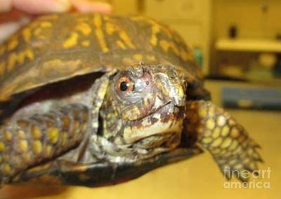 Painting - Abl - Eastern Box Turtle by Jan Dappen