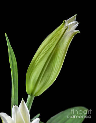 Photograph - White Oriental Lily About To Bloom by David Perry Lawrence
