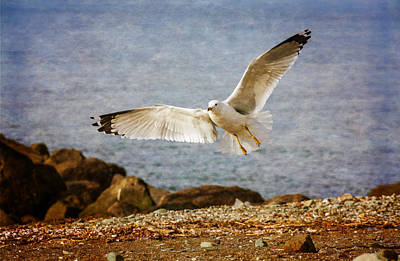 Herring Gull Photograph - About To Land by Karol Livote