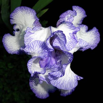 Above A Purple Edged Iris Art Print by Tara Hutton
