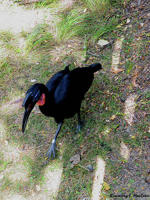 Photograph - Abssynnian Ground Hornbill by Kimmary MacLean