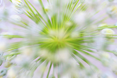 Photograph - Abstract Allium by Robert FERD Frank