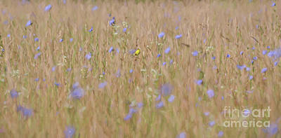 Photograph - Abstract Art - Goldfinch In The Chicory by Kerri Farley