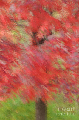 Photograph - Abstract Autumn Red Maple by Tamara Becker