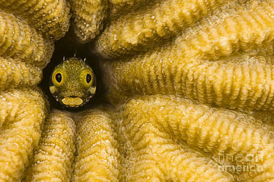 Blend Photograph - Abstract Blenny Fish by Dave Fleetham - Printscapes