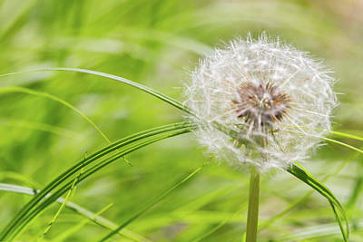 Photograph - Abstract Grass And Dandelion by Steven Green