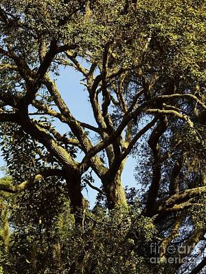 Photograph - Abstract In The Oak Limbs by D Hackett