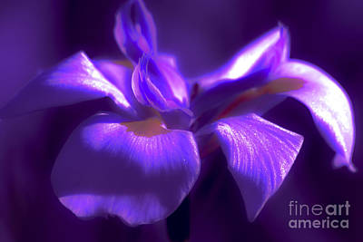 Abstract Iris Art Print by Karen Lewis