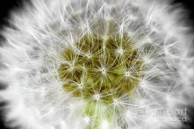 Abstract Nature Dandelion Floral Maro White And Yellow A1 Art Print