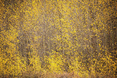 Photograph - Abstract Of Aspens by Marilyn Hunt