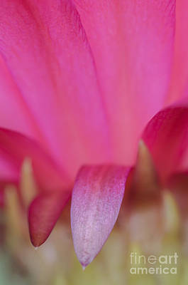 Photograph - Abstract Pink Cactus Flower by Tamara Becker
