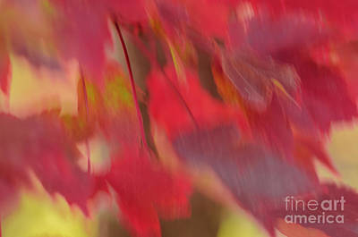 Photograph - Abstract Red Maple Leaves by Tamara Becker