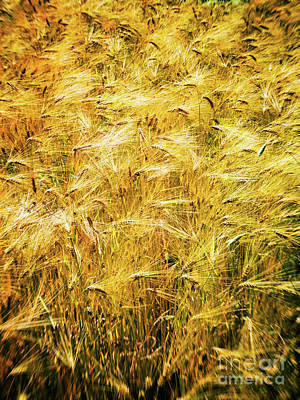 Photograph - Abstract Wheat by Silvia Ganora