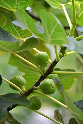 Photograph - Abundance - Brown Turkey Figs by rd Erickson
