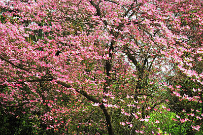 Photograph - Abundant Bloom Of Pink Dorgwood Tree by Jenny Rainbow