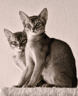 Photograph - Abyssinian Kittens by Ari Salmela