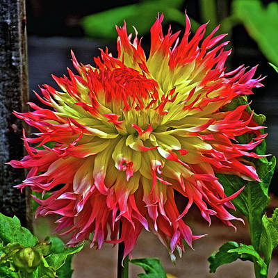 Photograph - Ac Rooster Dahlia In Golden Gate Park In San Francisco, California  by Ruth Hager
