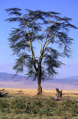 Photograph - Acacia Africa by Roger Lever