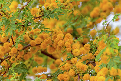 Photograph - Acacia Flowers by Douglas Killourie