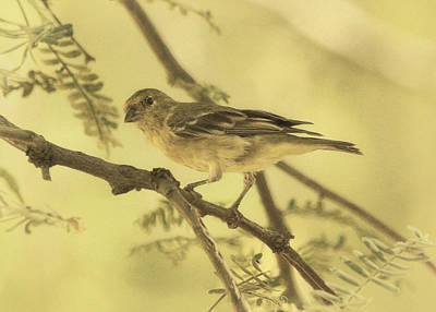 Photograph - Acacia Limb With Lesser Goldfinch Des by Theo O'Connor