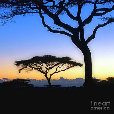 Photograph - Acacia II by Scott Kemper