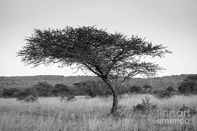 Acacia Tree Africa Black And White Art Print