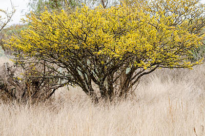 Photograph - Acacia Tree In Bloom In The Wild. by Rob Huntley