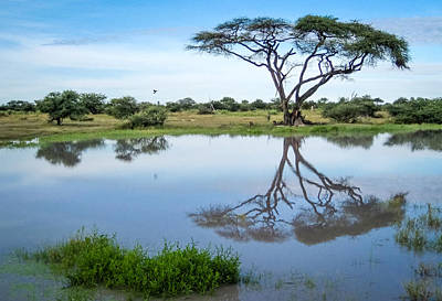 Photograph - Acacia Tree Reflection by Gregory Daley  PPSA