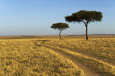 Acacia Trees In The Maasai Mara Print by Nigel Hicks