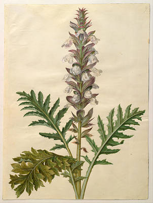 Drawing - Acanthus Mollis by Johannes Simon Holtzbecher