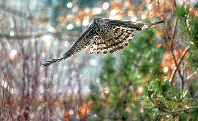Photograph - Accipiter by Donna Kennedy