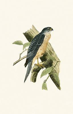 Birds Of Prey Drawing - Accipiter Sphenurus by English School