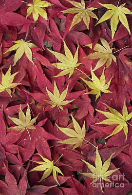 Acer Autumn Art Print by Tim Gainey