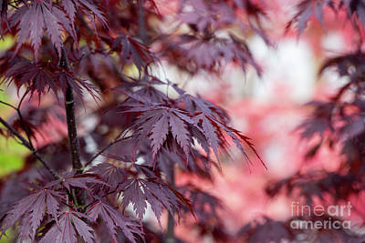 Photograph - Acer Black Lace by Tim Gainey