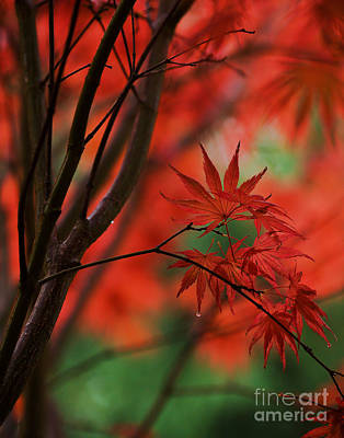 Fall Colors Photograph - Acer Fanfare by Mike Reid