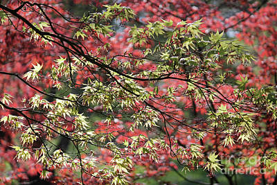 Photograph - Acer Leaves In Spring by Julia Gavin