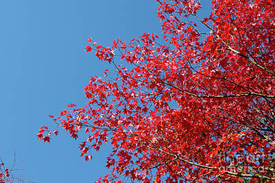 Photograph - Acer Palmatum Amoenum by Tim Gainey