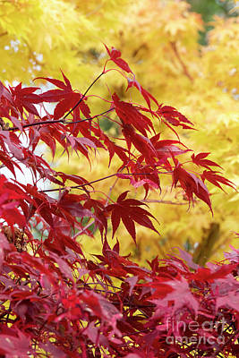 Photograph - Acer Palmatum Atropurpureum by Tim Gainey