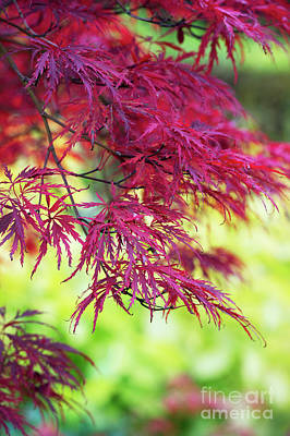 Photograph - Acer Palmatum Dissectum Inaba Shidare  by Tim Gainey